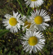 Erigeron annuus - Flowers - Click to enlarge!