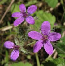 Erodium malacoides - Flowers - Click to enlarge!