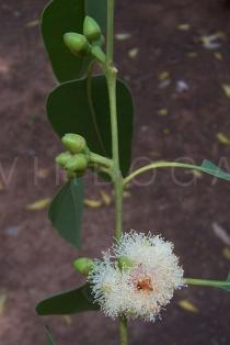 Eucalyptus camaldulensis - Flower - Click to enlarge!