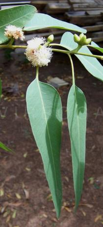 Eucalyptus camaldulensis - Leaves - Click to enlarge!
