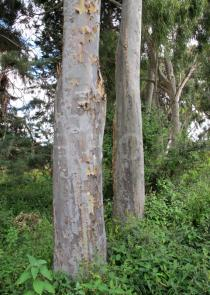 Eucalyptus camaldulensis - Trunks - Click to enlarge!