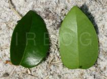 Eugenia uniflora - Upper and lower surface of leaf - Click to enlarge!