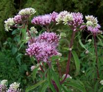 Eupatorium cannabinum - Inflorescence - Click to enlarge!