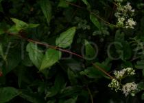 Eupatorium chinense - Branch - Click to enlarge!