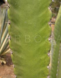 Euphorbia candelabrum - Prickles - Click to enlarge!