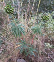 Euphorbia characias - Habit - Click to enlarge!
