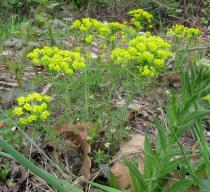 Euphorbia cyparissias - Habit - Click to enlarge!