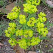 Euphorbia cyparissias - Inflorescence - Click to enlarge!