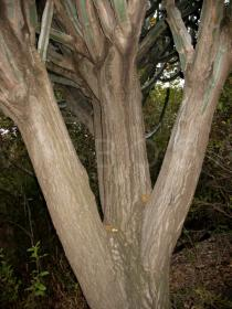Euphorbia ingens - Trunk - Click to enlarge!
