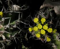Euphorbia restricta - Flowers and thorns - Click to enlarge!