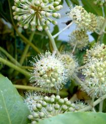 Fatsia japonica - Inflorescence - Click to enlarge!