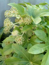 Fatsia japonica - Flowering branch - Click to enlarge!