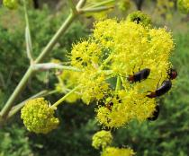 Ferula communis - Flowers - Click to enlarge!