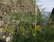Ferula communis - Foliage - Click to enlarge!
