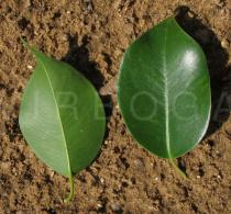 Ficus benjamina - Upper and lower surface of leaves - Click to enlarge!