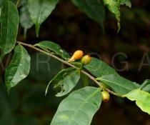 Ficus henryi - Fruits - Click to enlarge!