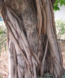 Ficus ovata - Trunk - Click to enlarge!