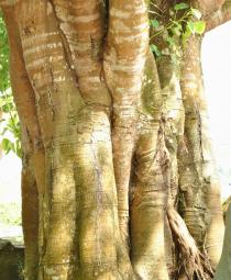 Ficus religiosa - Trunk - Click to enlarge!
