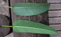 Ficus salicifolia - Upper and lower surface of leaf - Click to enlarge!