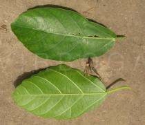 Ficus sur - Upper and lower surface of leaf - Click to enlarge!
