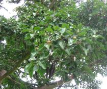 Ficus sycomorus - Branch with fruits - Click to enlarge!