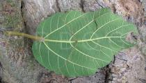 Ficus sycomorus - Lower surface of leaf - Click to enlarge!