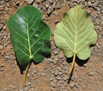 Ficus vasta - Upper and lower surface of leaf - Click to enlarge!