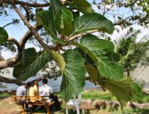 Ficus vasta - Foliage - Click to enlarge!