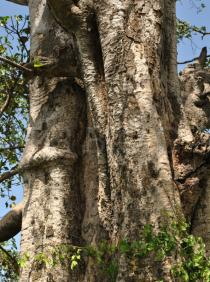 Ficus vasta - Trunk - Click to enlarge!