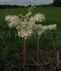 Filipendula ulmaria - Inflorescence - Click to enlarge!