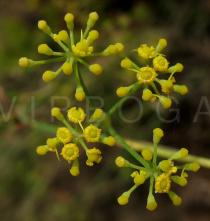 Foeniculum vulgare - Flowers close-up - Click to enlarge!