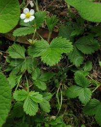 Fragaria vesca - Habit - Click to enlarge!