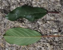 Frangula dodonei - Upper and lower surface of leaf - Click to enlarge!