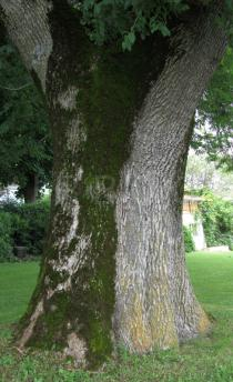 Fraxinus excelsior - Trunk - Click to enlarge!