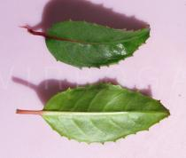 Fuchsia magellanica - Upper and lower surface of leaf - Click to enlarge!