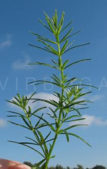 Galium verum - Foliage - Click to enlarge!