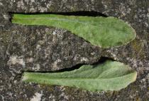 Gamochaeta pensylvanica - Upper and lower surface of leaf - Click to enlarge!