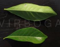 Gardenia jasminoides - Upper and lower surface of leaf - Click to enlarge!