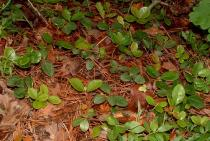 Gaultheria procumbens - Habit - Click to enlarge!