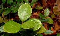 Gaultheria procumbens - Leaf - Click to enlarge!