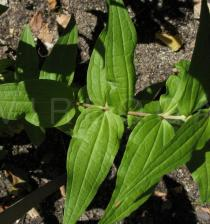Gentiana asclepiadea - Leaf insertion - Click to enlarge!