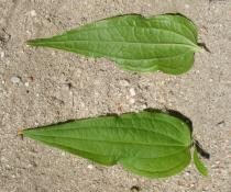 Gentiana asclepiadea - Upper and lower surface of leaf - Click to enlarge!