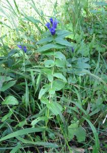 Gentiana asclepiadea - Habit - Click to enlarge!