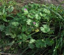 Geranium molle - Habit - Click to enlarge!