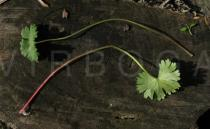 Geranium molle - Upper and lower surface of leaf - Click to enlarge!