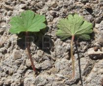 Geranium rotundifolium - Upper and lower surface of leaf - Click to enlarge!