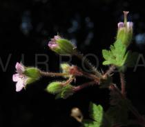Geranium rotundifolium - Flower, side view - Click to enlarge!