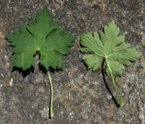 Geranium wallichianum - Upper and lower surface of leaf - Click to enlarge!