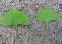 Ginkgo biloba - Upper and lower side of leaf - Click to enlarge!