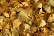 Ginkgo biloba - Autum foliage - Click to enlarge!